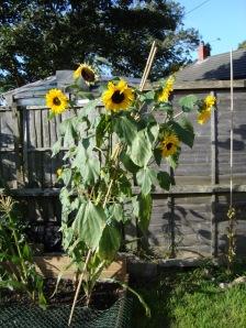 Sunflower 9.09