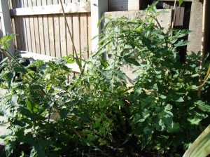Tomatoes 9.09
